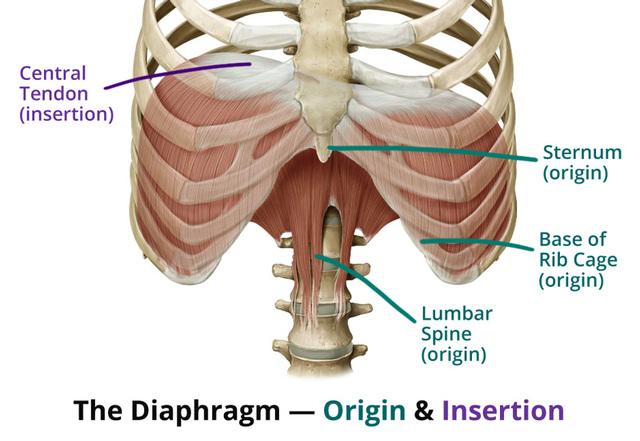 diaphragm-origin-insertion.jpeg