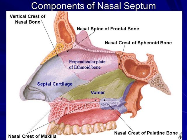 Components+of+Nasal+Septum.jpg