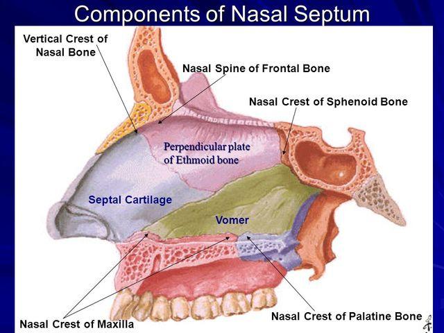 Components+of+Nasal+Septum.jpg